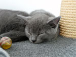 Chaton chartreux loof