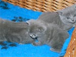 Chaton chartreux loof à 5 semaines