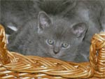 Chaton chartreux pure race